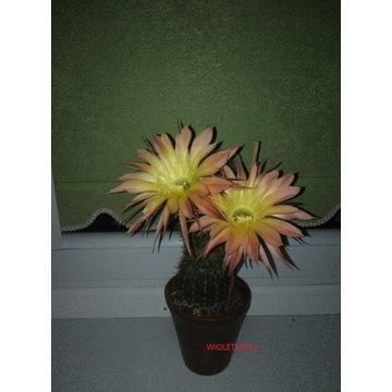 echinopsis hybryda