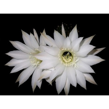 Kaktus Echinopsis hybryd Grey Ghost