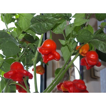 papryka chili bishop's crown nasiona