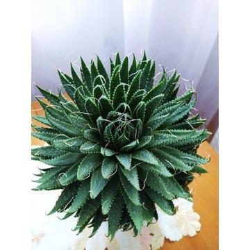 Aloes sukulent piękny okaz