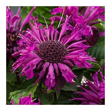 Pysznogłówka fioletowa