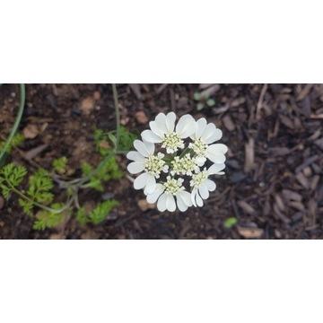 orlaya grandiflora, nasiona tegoroczne