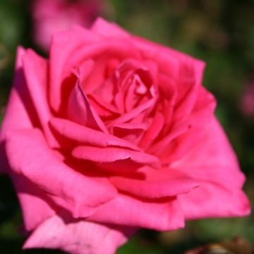 Piękna Polska Róża pnąca różowa