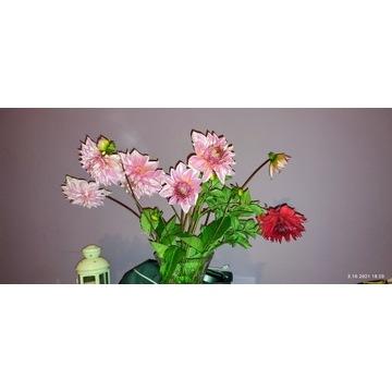 Sprzedam kwiaty dalie cięte 8zł