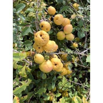 Owoc Pigwowca Japońskiego 1 sort 3,5-5 cm WYSYŁKA
