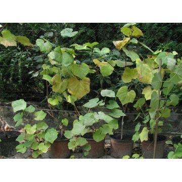 WINOROŚL/winogrona 2-3 letnie w donicach bezpestko
