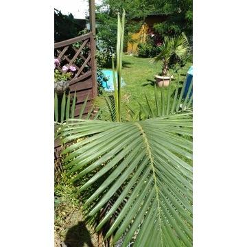 Palma Archontophoenix cunninghamiana 180cm