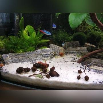 Łupek drzewiasty (Ozdoba, wystrój do akwarium)