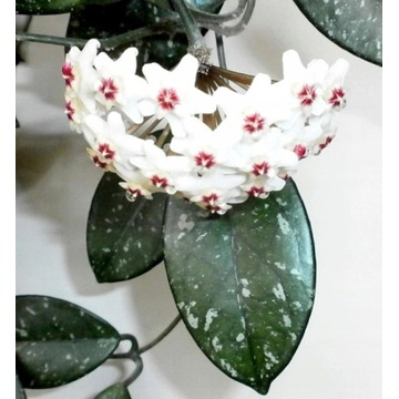 Hoya hoja Carnosa splash sadzonka cięta 4 liście