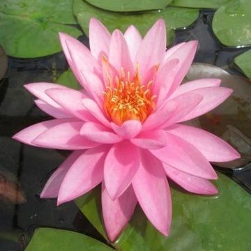 Lilia wodna, grzybień różowy.