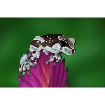 Rzekotka Żabia Trachycephalus resinifictrix
