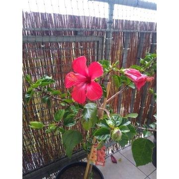 HIBISKUS DONICZKOWY ( Róża Chińska)