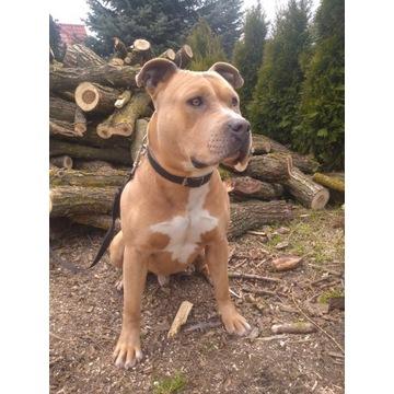 Amstaff american staffordshire terrier krycie