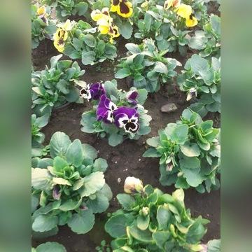 Kwiaty bratki 1.50, stokrotki i prymulkipo 2.50