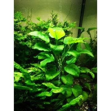 Kryptokoryna anubias microsorium rośliny akwariowe