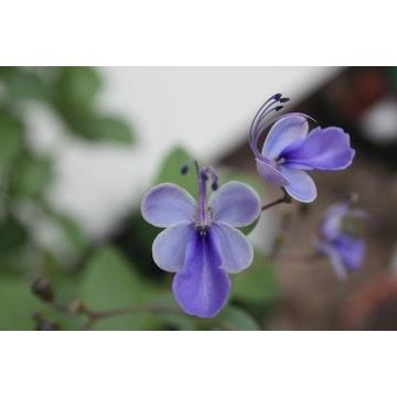 Clerodendrum UGANDENSE (SZCZĘŚLIN)
