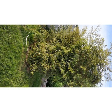 Czarny Bambus Drzewiasty NIGRA Mrozoodporny ogrodu