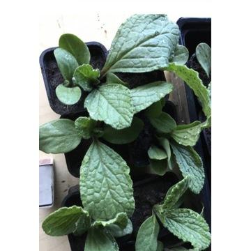Ogórecznik sadzonka tegoroczna roślina miododajna
