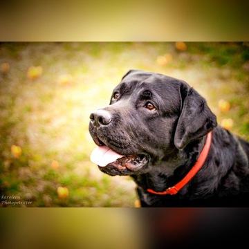 Labrador szczenięta szczeniaki FCIrodzice pracując