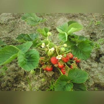 Sadzonki truskawek ekologia