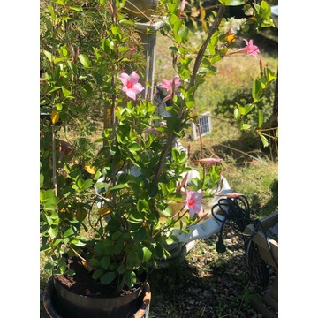 Sundaville pnącze,kolor jasny róż wys 103cm