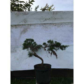 BONSAI piękne drzewka sosna buk grab jałowiec brzo