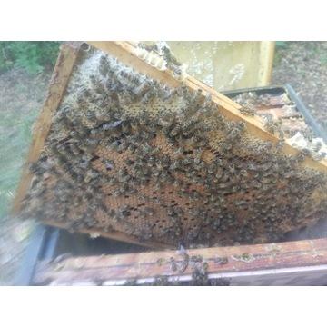 Pszczoły, odkłady pszczele na ramce wielkopolskiej