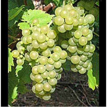 Seyval Blanc sadzonki winorośl winogron odporny