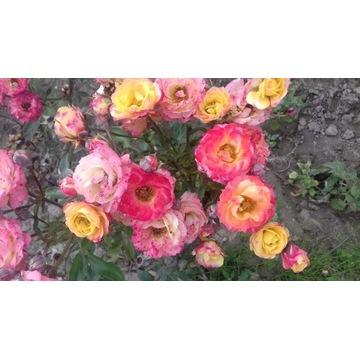 róża rabatowa pomaranczowoczerwona