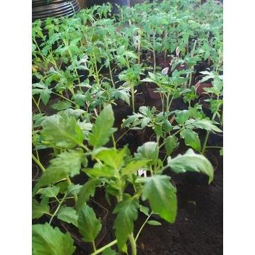 Sadzonki pomidorów, selerów, porów, kapusty itd:)