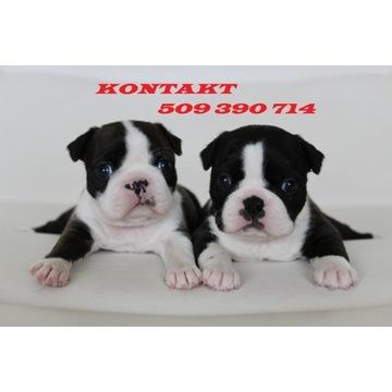 Boston Terrier Szczenięta z Rodowodem ZKwP (FCI)