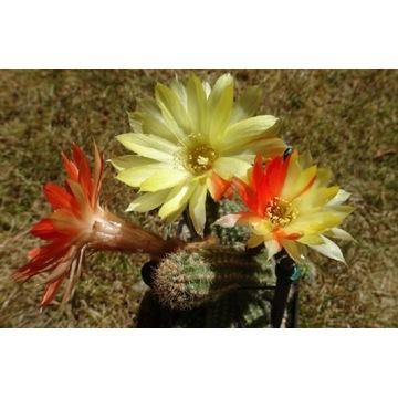 "Kaktus Chamaecereus ""Unikum"" (film na You Tube)"