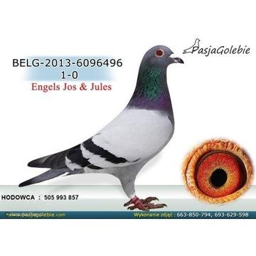 Gołąb pocztowy oryginał Engels lub młode