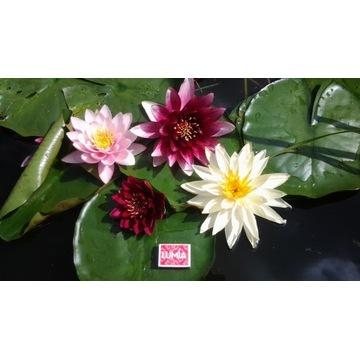 Lilie wodne, nenufary w 5 kolorach, 6 odmianach