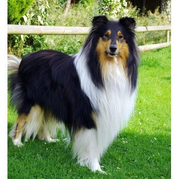 Szukam reproduktora owczarek szkocki collie