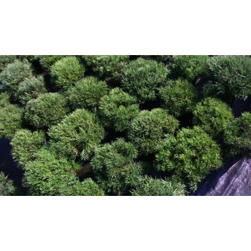 Sosna kosodrzewina odmiana Pumilio Pinus mugo