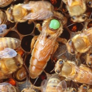 Matki Pszczele młode czerwiące DOSTĘPNE