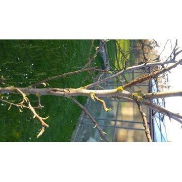 Drzewka grusza