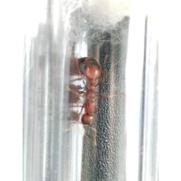 Mrówki Manica rubida 10 sztuk