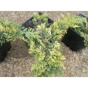 Jałowiec płożący Golden Carpet Juniperus