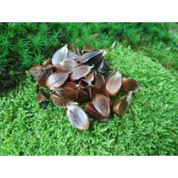 Buk pospolity nasiona orzeszki bukowe