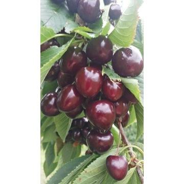 Czereśnia Korda duży owoc  producent !!!