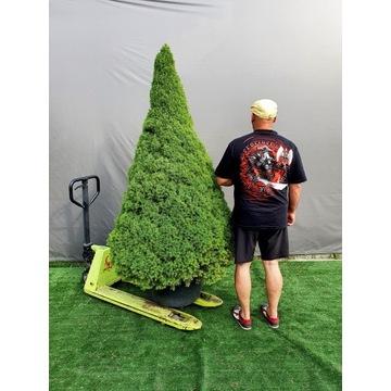 świerk conica Picea glauca Rainbow's End 2,5m Mega