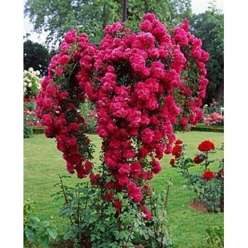 Róża na pniu zwisająca pendula