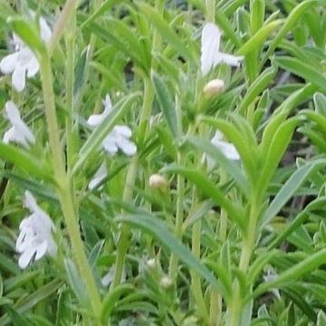Cząber górski czubryca Satureja montana