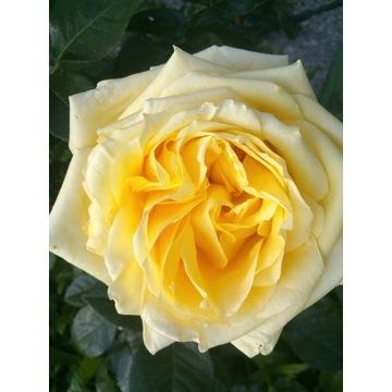 róża parkowa kremowo biała   Producent!!!!