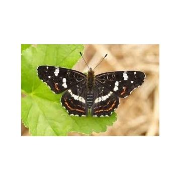 Motyl: Rusałka Kratkowiec - gąsienica do hodowli