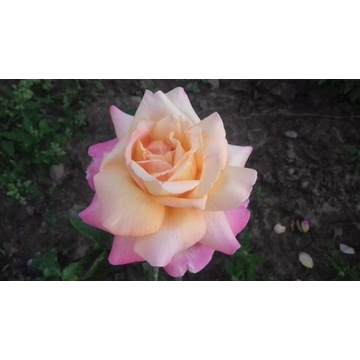 róża  różowo zolta   80 cm Producent!!!!