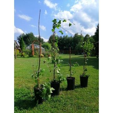 Sadzonki winobluszcza/bluszcza zimozielonego