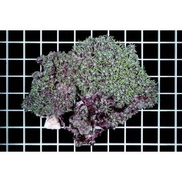 Briareum spp.  z skałą WARSZAWA wysawiam FV